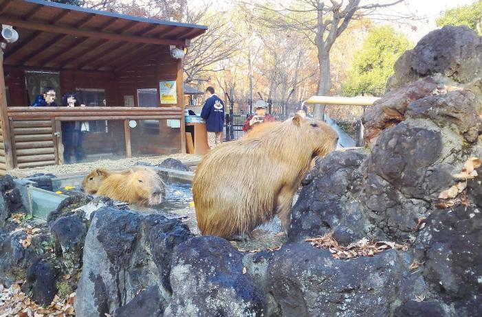 こども動物自然公園のカピバラ温泉
