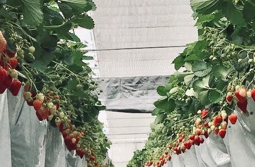 毛呂山町の苺の里