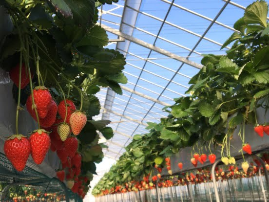 川島町のStrawberry Hunt