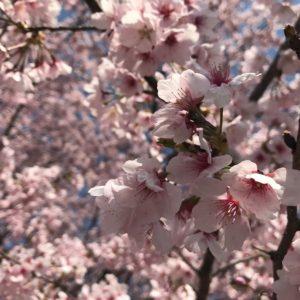 坂戸にっさい桜まつりの花見