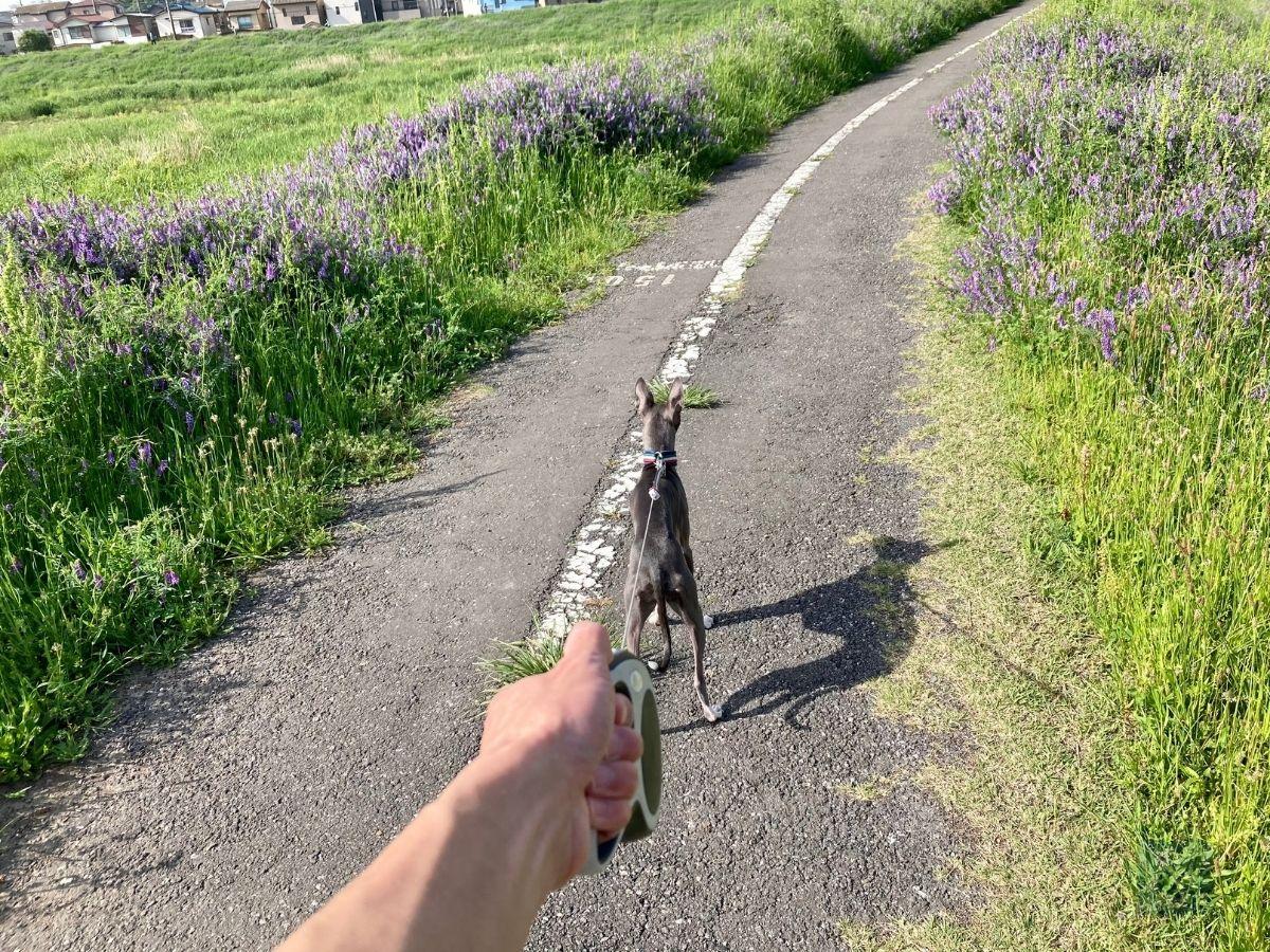 寺尾遊水池 遊歩道で散歩する犬
